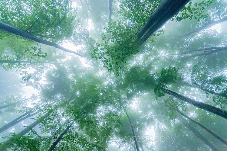 Букове в мъгла