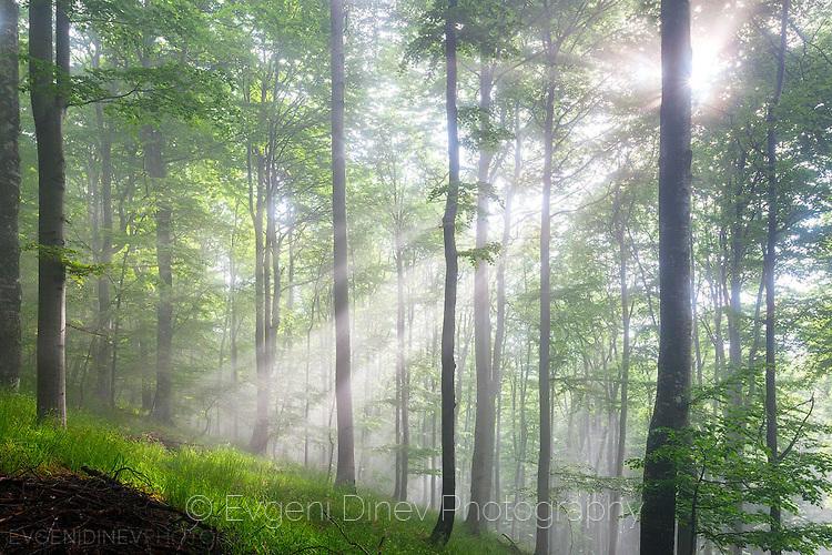 Слънчеви лъчи в гора