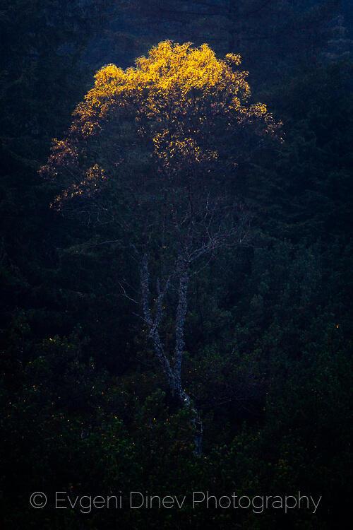 Жълто дърво в мъглата