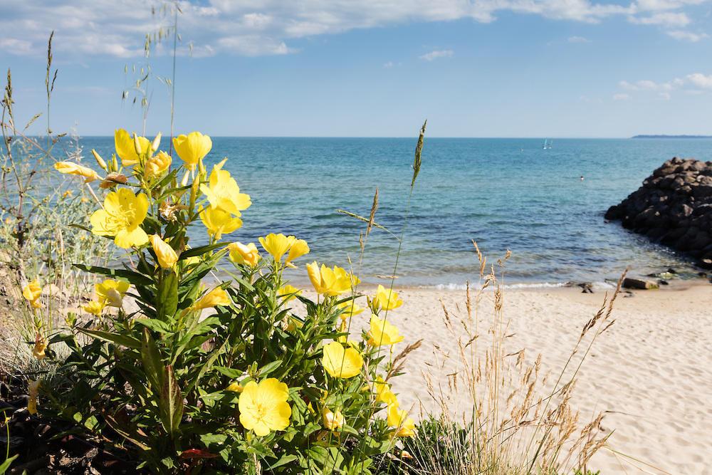 Жълти цветчета край плажа на Свети Влас