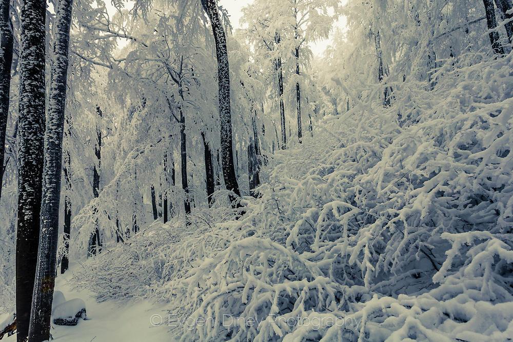 Замръзнала снежна гора в Стара Планина