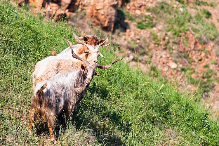 Резовски кози