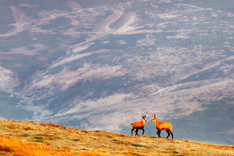 Диви кози на връх Голям Кадемлия