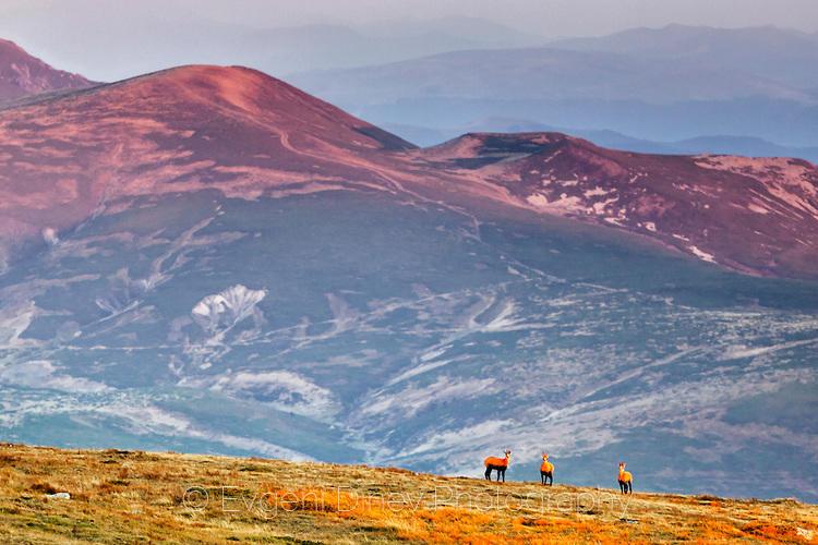 Три диви кози по изгрев