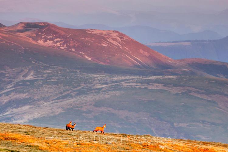 Диви кози по изгрев