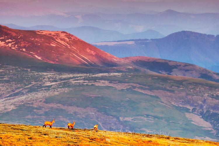Балкански диви кози