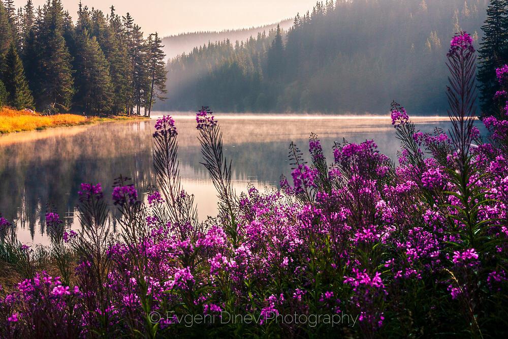 Виолетови цветчета край езерото