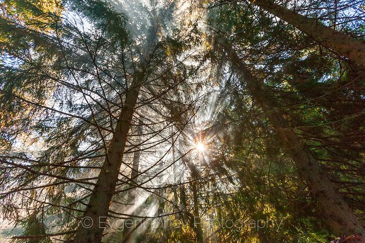 Лъчи през борова гора