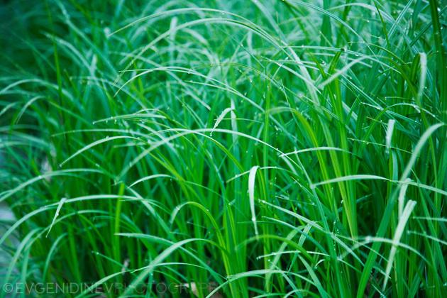 Роса по тревата