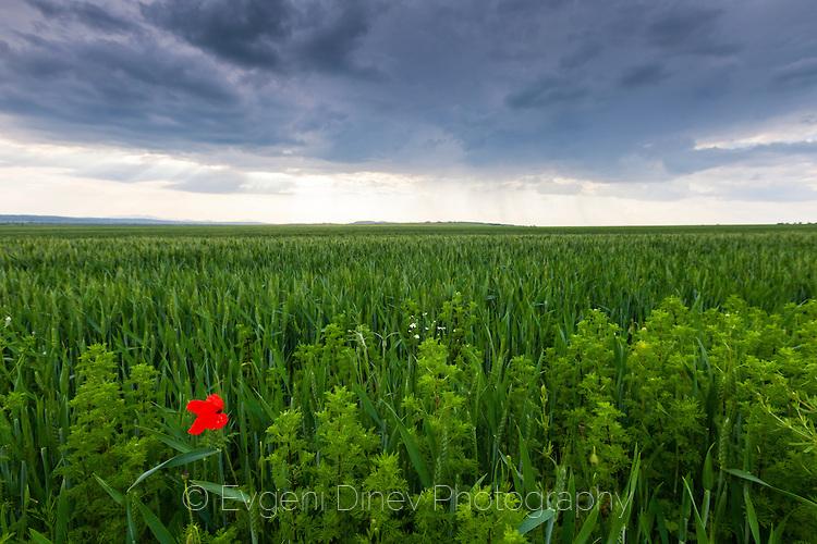 Мак в зелено житно поле