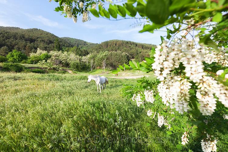 Бял кон пасе край живописна пролетна поляна