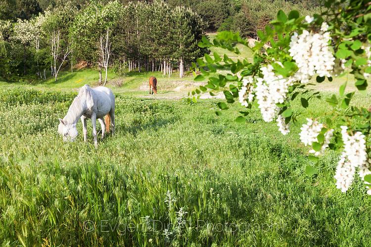 Бял кон в тучна пролетна поляна
