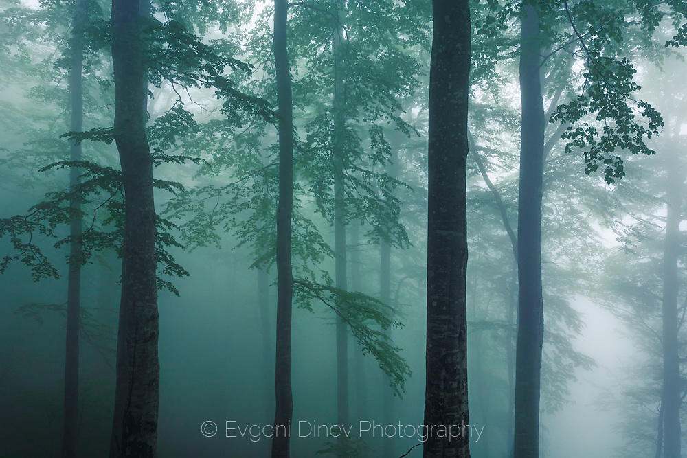 Пролетна гора в мъгла, по Копренската екопътека