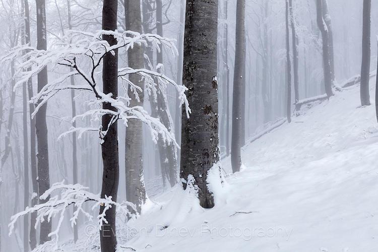 Снежни клонки