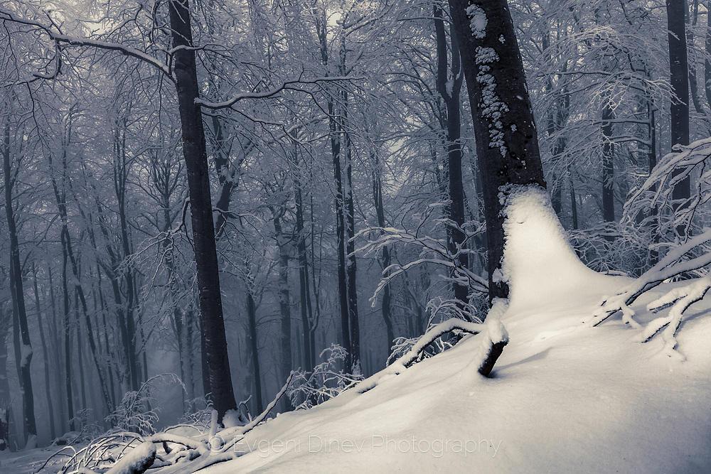 Стара букова гора покрита със сняг