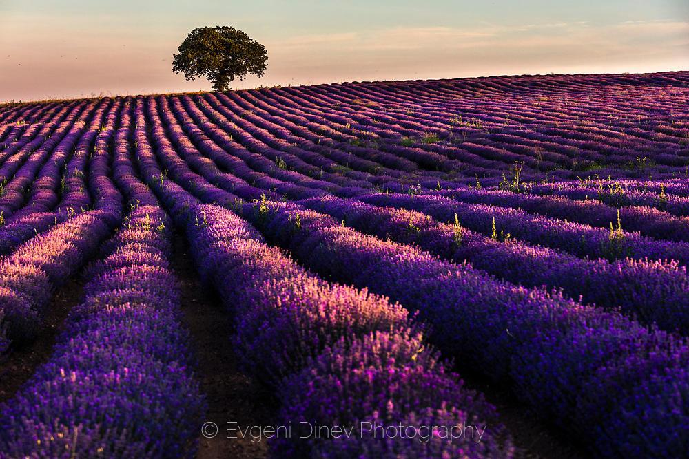 Виолетово поле
