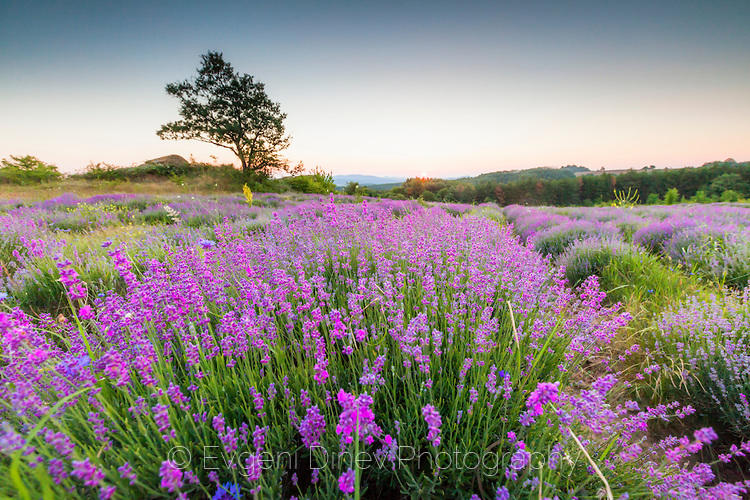 Обрасло поле с лавандула
