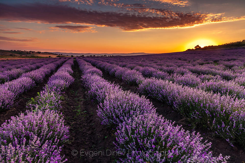 Лавандулово поле по изгрев