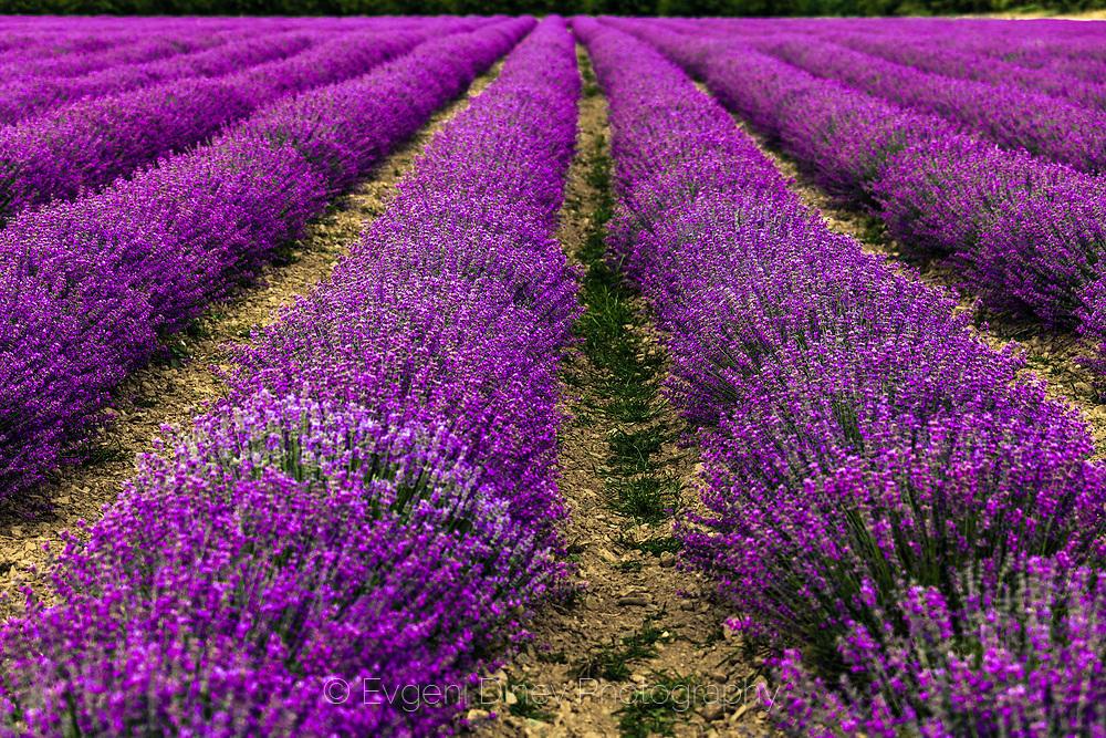 Виолетови лехи