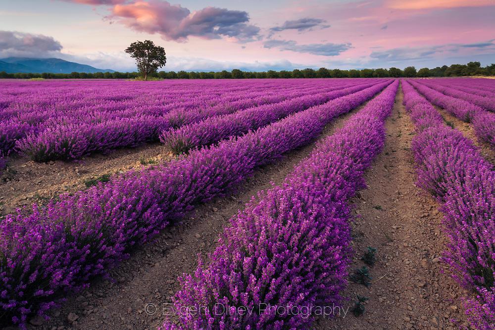 Красиво поле с лавандула в Тракийската низина