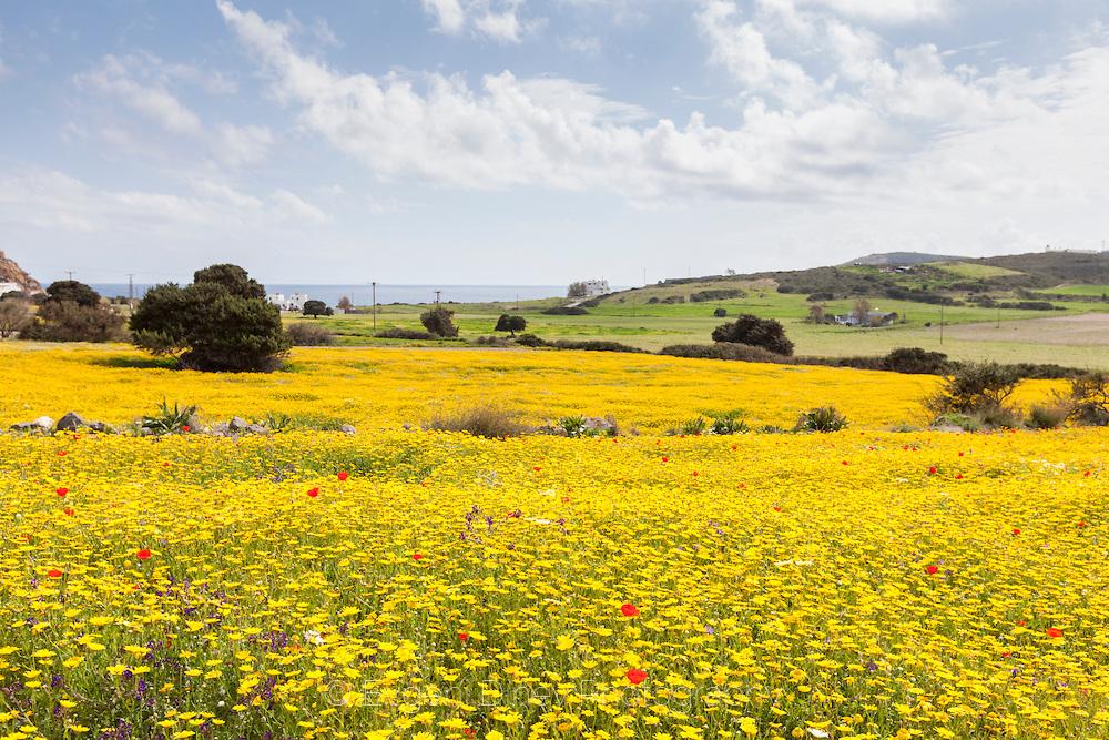 Жълта поляна от маргаритки