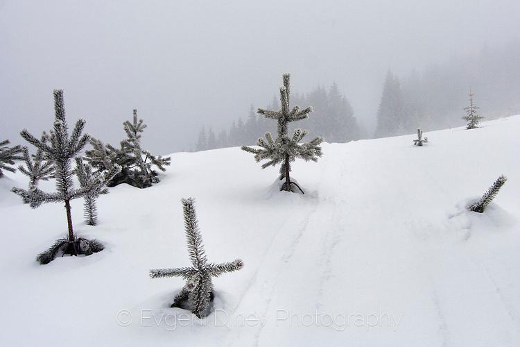 Елхи под снега