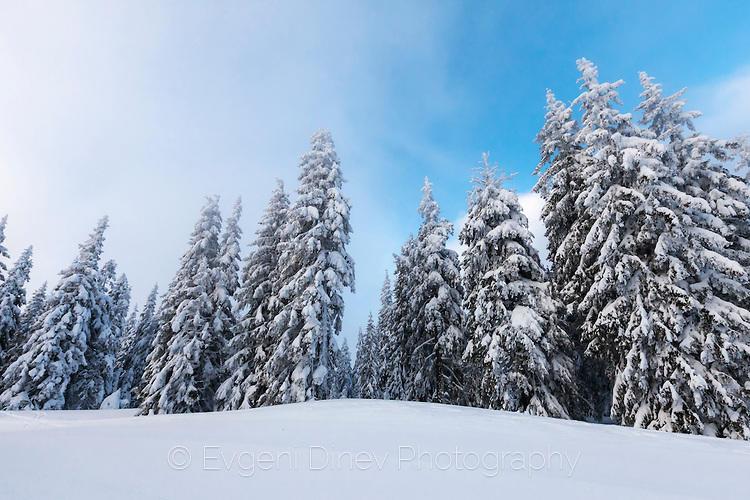 Снежни борове