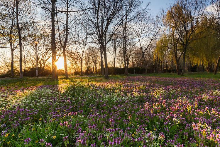 Поляна изпълнена с лилави и жълти пролетни цветчета по изгрев
