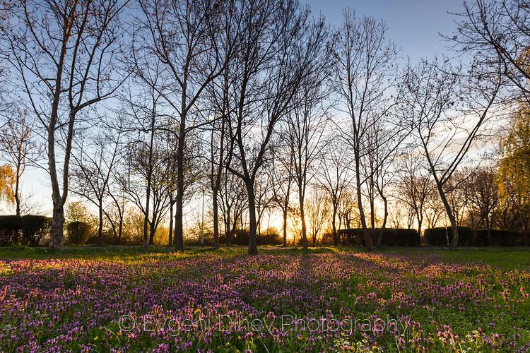 Виолетова поляна по изгрев