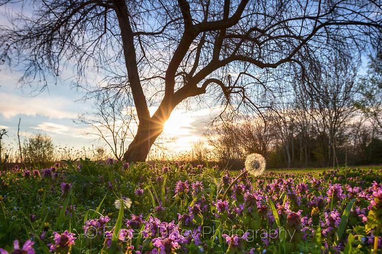 Разцъфнала поляна изпълнена с великденчета и глухарчета край дърво в рано пролетно утро