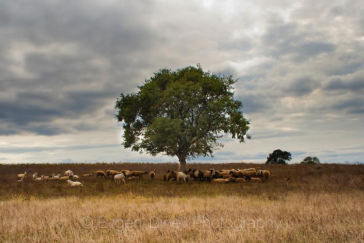 Стадо овце под дървото