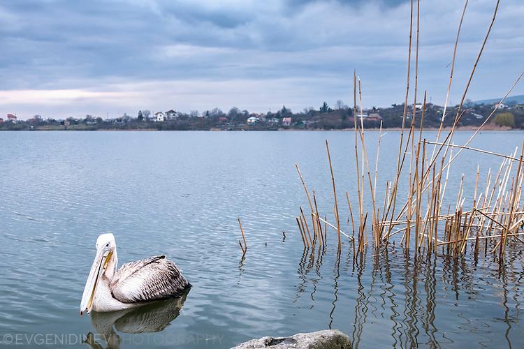 Пеликан в Мандренското езеро