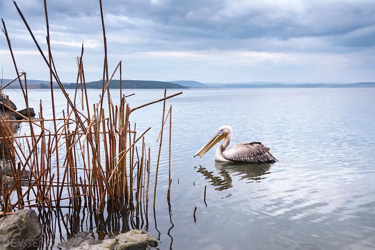 Самотен пеликан
