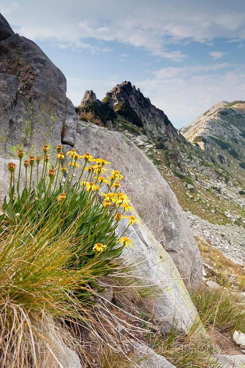 Жълти цветчета под връх Джано в Пирин
