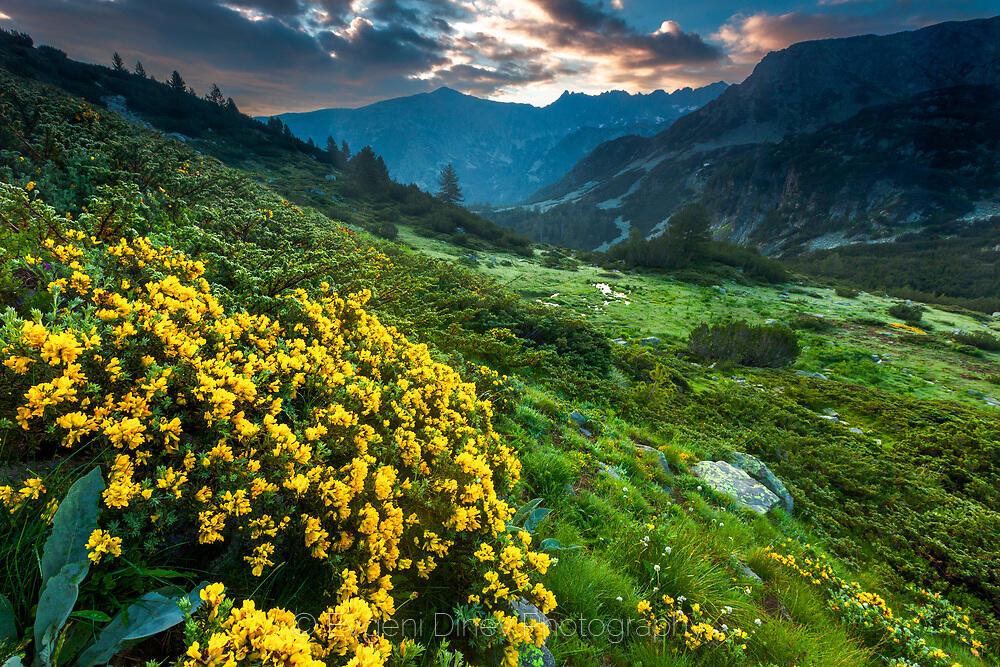 Жълти цветчета в Пирин