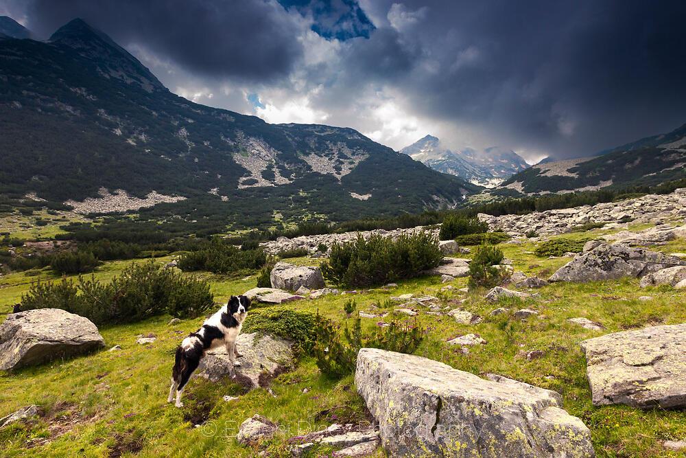 Овчарско куче в Пирин
