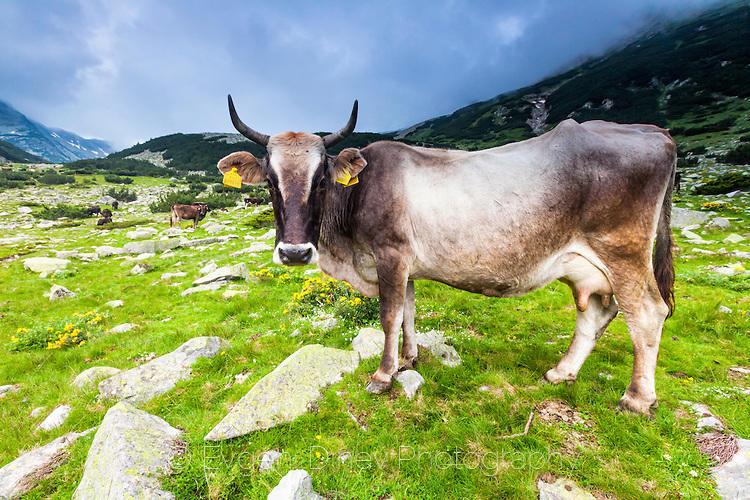 Едър, рогат добитък