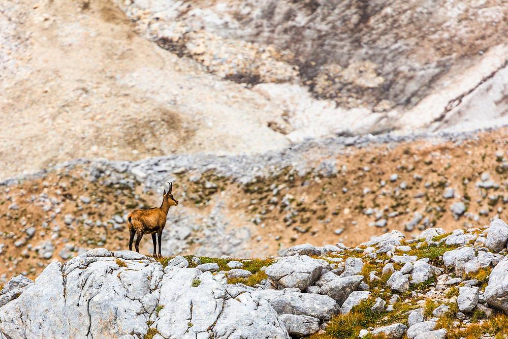 Дива коза под връх Вихрен