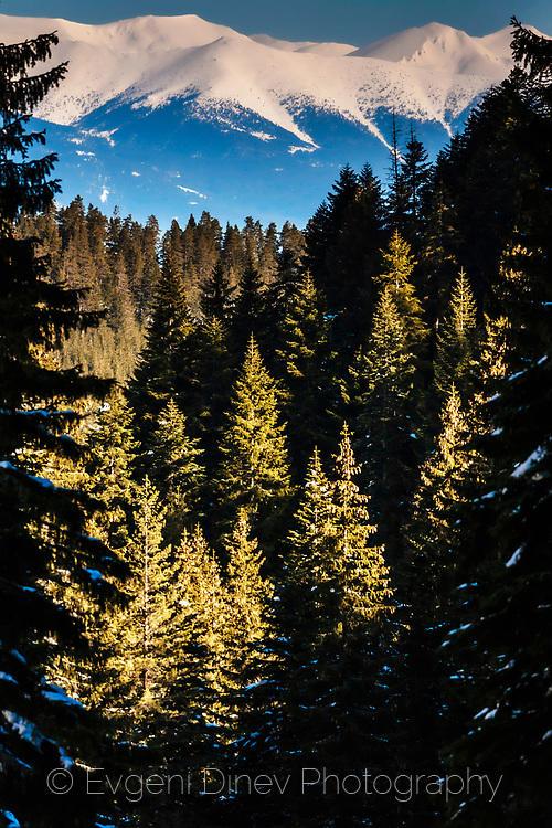 Върхове отрупани със сняг и слънчева борова гора