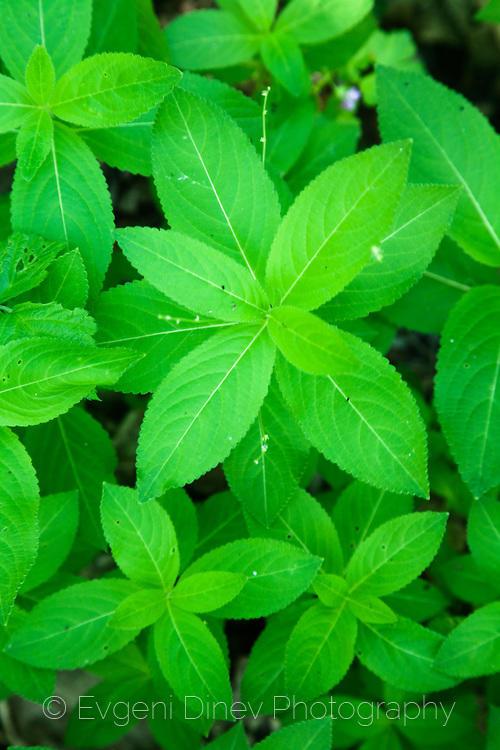 plants, Strandzha