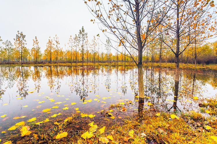Тополи в езерце