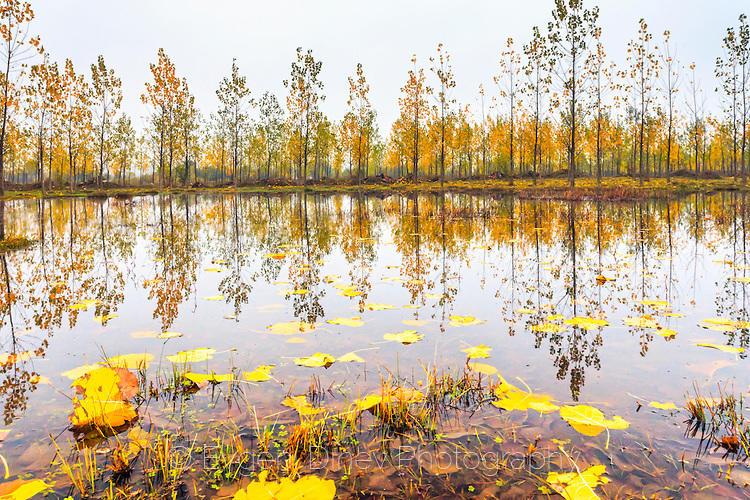 Есенни тополи край мъгливо езеро