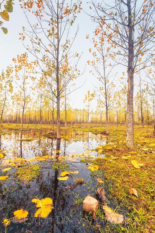Пейзаж с тополи край езеро
