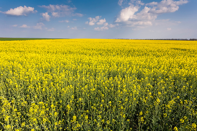 Жълто поле с рапица