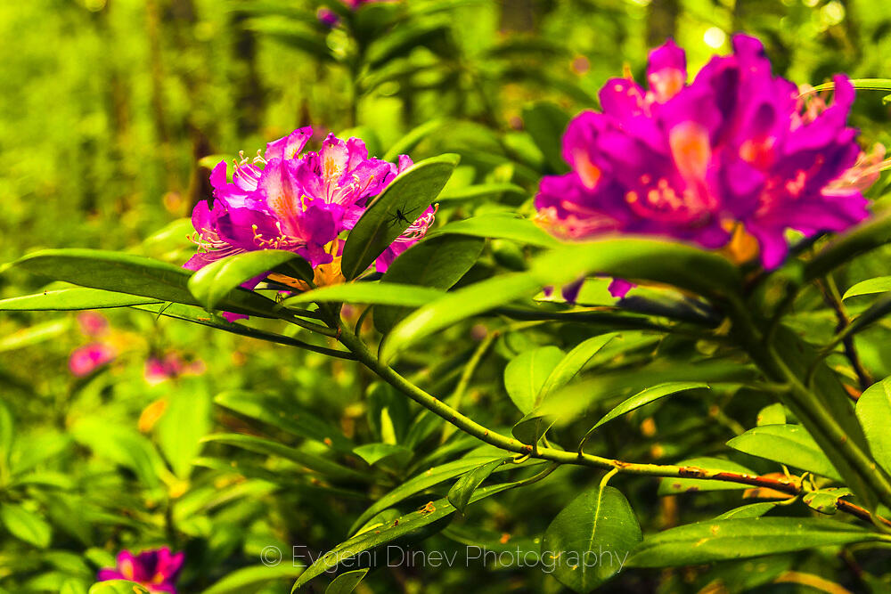 Зеленика в резерват Лопушна