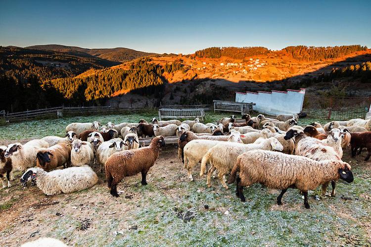 Родопски овце