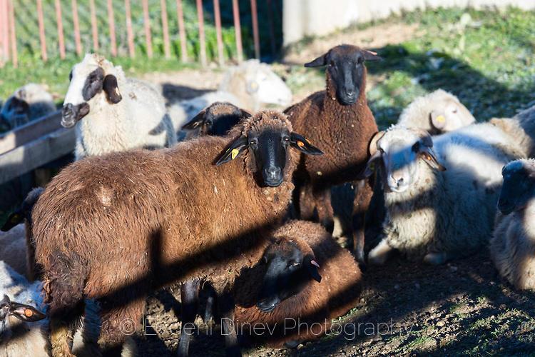 Кафяви и бели овце