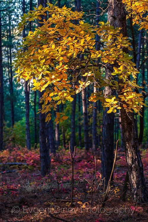 Жълто дръвче