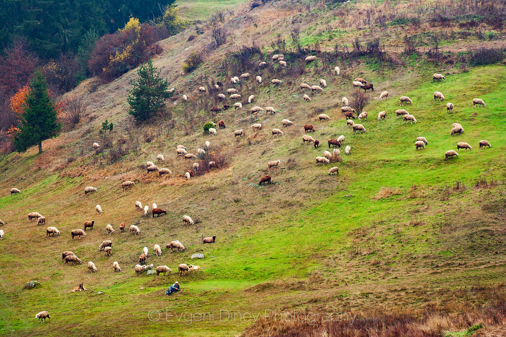 Стадо родопски овце