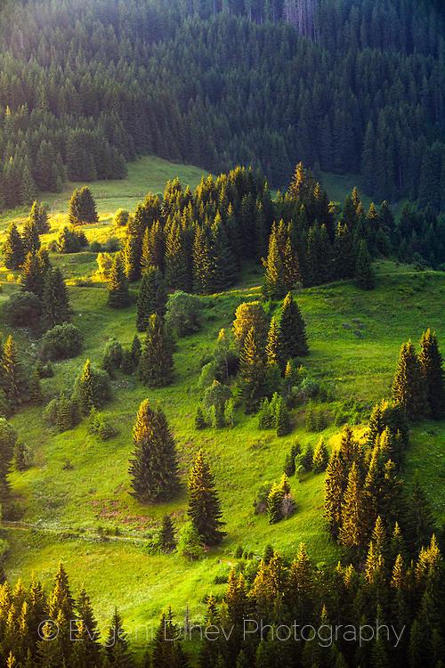 Зелени борове на зелена поляна